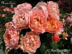 'Madame Marie Curie' Jean-Marie Gaujard.France 1942.  White, light apricot undertones.