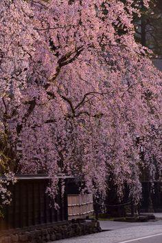 いよいよ桜も本格シーズンに入ってきましたね。今回は「Yahoo JAPAN」と全世界57カ国から約130万いいねを集める「ZEKKEI Japan」のコラボレーション企画で発表された、世界が選ぶ日本の桜の絶景BEST10をご紹介。1位は一体どんな桜の絶景なのでしょうか!