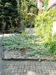 Toronto garden cleanup Cabbagetown backyard  after Paul Jung Gardening Services    My client, Willem, called me to clean up this Cabbagetown  backyard and path that were overrun with petty spurge (Euphorbia peplus), morning glory and grass seedlings.    Here are some before and after shots of the clean up.
