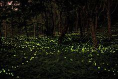 firefly insect - Szukaj w Google