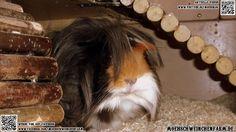 Fazit2014: Aktuelle Meerschweinchen Bilder Dez 2014 #guineapigs #guineapig #meerschweinchen #cavy #meerschwein #meeri