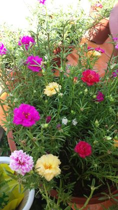 Portulaca Flowers, Portulaca Grandiflora, Planting Flowers, Flower Plants, Exotic Flowers, Colorful Flowers, Spring Flowers, Bonsai Garden, Garden Trees
