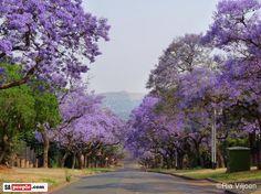 Jacarandas South Africa