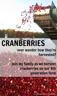 I'll show you in pictures (lots of them) how cranberries are harvested.  Take a look around my blog and find my family's favorite cranberry recipes.
