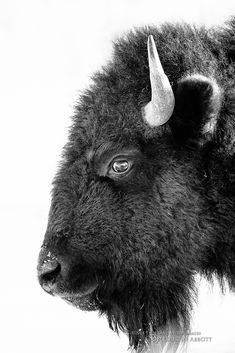 https://flic.kr/p/jDdbeR | Bison Formal Portrait | © 2014 Thousand Word Images by Dustin Abbott This handsome bison was in perfect proflie for me to take his portrait. The light area at the bottom is the fog from his breath. It was very cold that day, and, if you look close, you can see my vehicle reflected in his eye. I gave this a high contrast monochrome conversion in Alien Skin Exposure. If you are ever interested in getting Alien Skin, send me a PM and I can provide you a discount....
