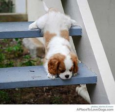 King Charles spaniel climbing down the stairs