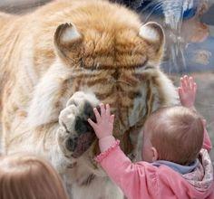 Hermosa imagen tierna bebé y tigre  [10-8-16]