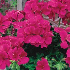 Pelargonium 'Caliente® Rose' Geranium, Ivy from Ebert's Greenhouse Village