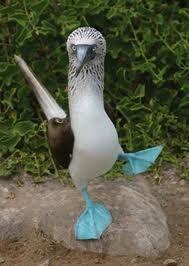 Blue Footed Birds - galapagos islands