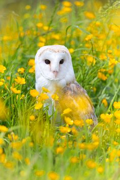 """Barn Owl in Buttercups by Simon Phillpotts via """"A Barn Owl (called Shadow) sat in a meadow of buttercup flowers. Taken during one of my Bird of Prey and Owl Workshops in Yorkshire, UK. Beautiful Owl, Animals Beautiful, Cute Animals, Baby Animals, Tyto Alba, Flora Und Fauna, Owl Pictures, Tier Fotos, Owl Art"""