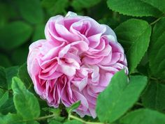 Général Kléber (Robert, Moss, 1856)...one of the many extremely rare roses that are about to become impossible to find in commerce as Vintage Gardens in CA is going out of business.