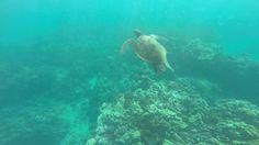 Tartaruga-verde em Turtle Town Maui, Hawaii