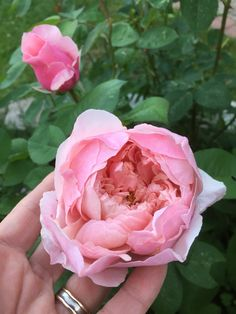 The Alnwick rose Jennysvitavillervalla.blogspot.se