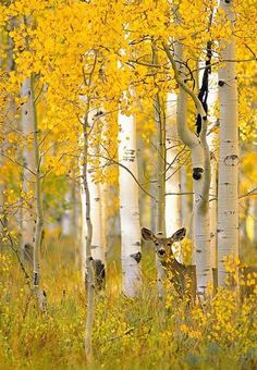deer among the trees - sıtkı All Nature Más Beautiful World, Beautiful Places, Beautiful Pictures, Aspen Trees, Birch Trees, Birch Forest, Autumn Forest, Autumn Trees, All Nature