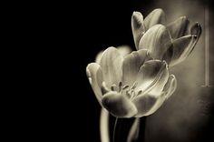 Non scrissi mai dei tulipani