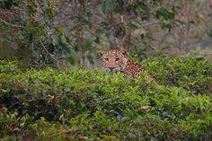 Leopard in a Tea Estate, Nilgiris