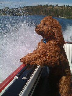 """""""Emerson"""" Boating, Cockapoo"""