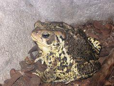 Fluvarium_American_toad.JPG (3264×2448)