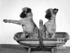 Two Unnamed Griffons Owned by Scholfield Sitting in a Trug Photographic Print by Thomas Fall at Art.com
