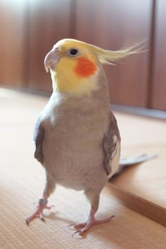 Cockatiel dance