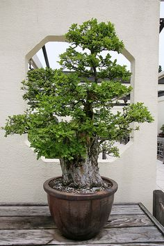 Chinese Elm ~ Ulmus parvifolia