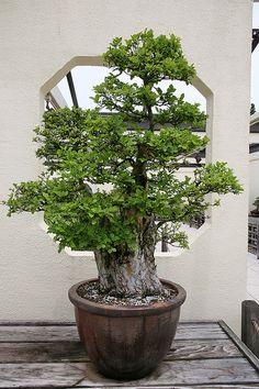 Chinese Elm (Ulmus parvifolia) | Flickr - Photo Sharing!