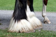 Shire hooves and feathers v. regular horse hooves, no feathers