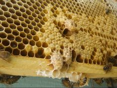 How Long Does It Take for a Queen Bee to Start Laying Eggs? Beekeeping For Beginners, Raising Bees, Worker Bee, Bee Do, Bee Keeping, Queen Bees, Harvest, Take That, Eggs