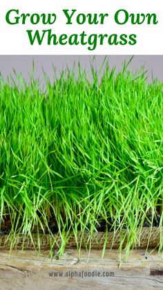You can grow wheat grass at home with and without soil (which is ridiculously easy!), But also the benefits of wheat grass and some recommended uses for this superfood! Vegetable Garden For Beginners, Gardening For Beginners, Gardening Tips, Gardening Supplies, Gardening Shoes, Hydroponic Gardening, Gardening At Home, Arizona Gardening, Gardening Calendar