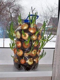 Cultivar cebollas reciclando garrafas de agua. Buena idea para experimentar en casa o en el colegio