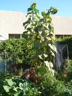 Summer in our garden includes lots of sunflowers shading the tomato plants!