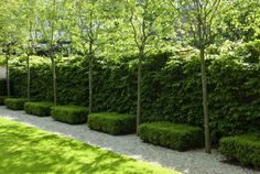 Amelanchier arborea 'Robin Hill', Buxus semervirens, Carpinus betulus. Del buono-Gazerwitz