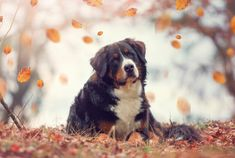10 Stocky Facts About Bernese Mountain Dogs | Mental Floss
