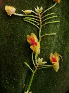 Lepanthes species, in situ picture, by Daniel-CR, via Flickr
