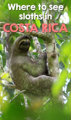 Find out where are the best places to see sloths in Costa Rica. Best animal sanctuaries, best places to see sloths in the wild in Costa Rica and Voyage Costa Rica, Costa Rica Travel, South America Destinations, South America Travel, Puntarenas, Tamarindo, Wild Life, Monteverde, Costa Rica Sloth