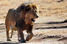 Jagdtouristen töten in Afrika Tausende gefährdeter Tiere. Die USA und EU erlauben die Einfuhr von Trophäen wie Köpfe, Felle und Zähne. Bitte fordern Sie von US-Präsident Obama und Kommissionspräsident Juncker, die Einfuhr solcher Jagdbeute zum Schutz der Tiere zu stoppen. Damit die Trophäenjagd ein Ende hat. Bitte unterschreiben Sie unsere Petition: https://www.regenwald.org/aktion/1011/afrikas-beruehmter-loewe-totgequaelt-stoppt-die-perverse-trophaeenjagd