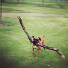My boy Oscar used to do this exact thing... with one difference. I live in a city. He'd choose his stick on the woodsy towpath and proceed to carry it home, making everyone on Main Street laugh.