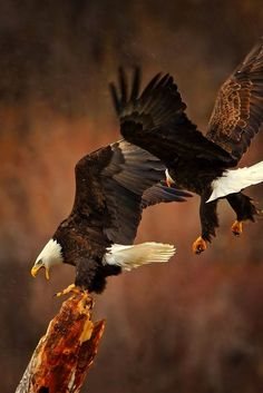 Bald Eagle Medicine: * Illumination * Visionary * Balance * Commitment to Excellence * Leadership * Spiritual Healing * Truth * Harmony * Spiritual Guidance * Justice Patriotic Pictures, Eagle Pictures, Animal Pictures, Nature Animals, Animals And Pets, Aigle Animal, Woodland House, Eagle Art, Exotic Birds