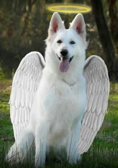 Cute White German Shepherd Dog is an Angel