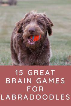 15 Great Brain Games for Labradoodles - Labradoodle Home Brain Games For Dogs, Dog Games, Fun Brain, Brain Gym, Dog Puzzles, Australian Labradoodle, Doodle Dog, Dog Care Tips, Pet Care
