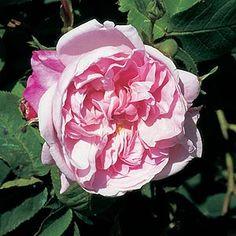 Fantin Latour (Rose)