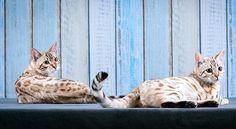 Two Snow Bengal Cats Bengal Cat Asian Leopard Cat Hybrid Cat