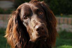 German Long-haired Pointer / Deutsch Langhaar #Dogs #Puppy