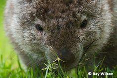 Cute Wombat, Common Wombat, Wilsons Promontory, Wildlife Photography, Mammals, National Parks, Australia, Pets, Beautiful Things