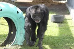 It's a whole new world for Joe, a chimpanzee who has been held in captivity since the day he was born.
