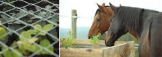 Plant healthy herbs in a box like this so the horses can't get to the roots