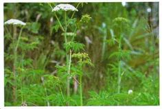Water hemlock, Spotted cowbane: Herb grows to 1.8 meters. Hollow stem sectioned off like bamboo, may be purple or red striped. Small white flowers grow in groups to form umbels. Roots have hollow air chambers that when cut produce drops of yellow oil. *CAUTION* Very POISONOUS. Small amount causes DEATH!Grows in wet,moist ground like swamps,wet meadows,stream banks throughout U.S. & Canada.