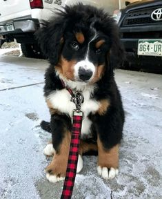 Really Cute Puppies, Cute Baby Dogs, Cute Little Puppies, Cute Dogs And Puppies, Baby Puppies, Cute Little Animals, I Love Dogs, Doggies, Burmese Mountain Dogs