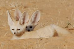The fennec fox or fennec (Vulpes zerda) is a small nocturnal fox found in the Sahara of North Africa.It has unusually large ears, which serve to dissipate heat. Its name comes from the Arabic word فنك (fanak), which means fox, and the species name zerda comes from the Greek word xeros which means dry, referring to the fox's habitat. The fennec is the smallest species of canid in the world. Its coat, ears, and kidney functions have adapted to high-temperature, low-water, desert environments.