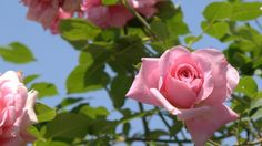 Wallpaper roses, flowers, sky, garden, sun, leaves